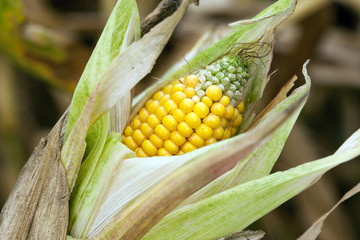 ripe corn, autumn