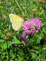 Yellow butterfly on clover flower in meadow