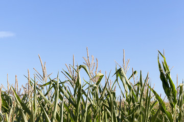 Field with corn