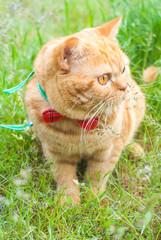 Beautiful British Shorthair cat in the green grass