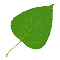 Green poplar leaf vector illustration isolated on white background