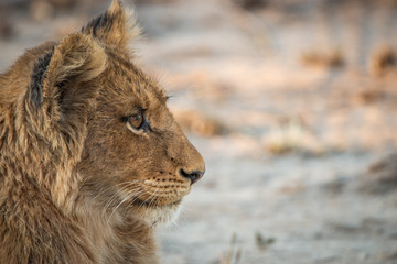Side profile of a Lion cub in the Kruger National Park.
