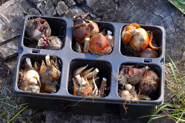 Flowers bulbs ready to plant in the garden