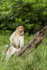 Barbary Macaques, Monkey. Native to the mountains of Morocco and Algiers. Single monkys, groups, young and babies. playing, climbing, feeding and grooming.