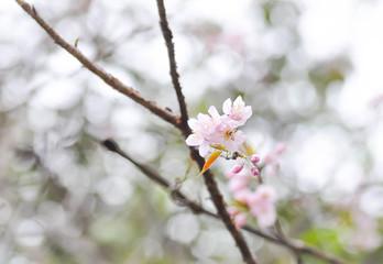 Wild Himalayan Cherry  or Wild Himalayan tree in the garden