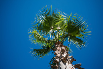 Palm tree close up isolated on the blue sky