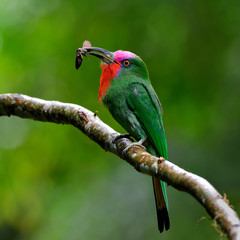 Red-bearded bee-eater (Nyctyornis amictus) beautiful of parrents