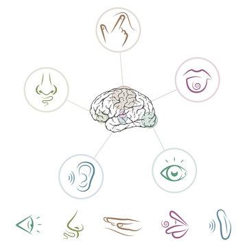 Five senses located in brain