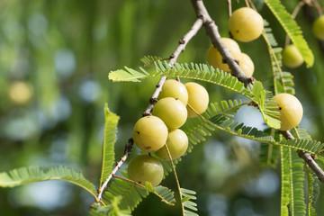 fruit of Malacca Tree