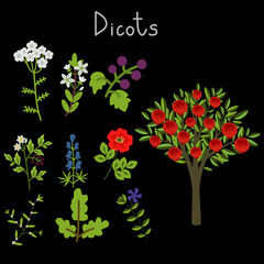 Examples of dicots