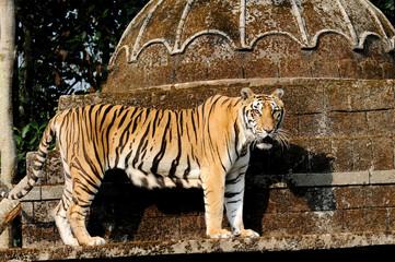 Tiger in the Safari Park in Pasuruan, East Java, Indonesia