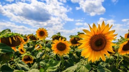 Nice sunflowers on the field
