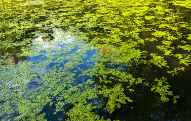 Green duckweed slime on the swamp - nature background