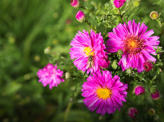 Autumn background with alpine aster