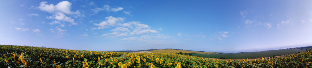 Panorama field of sunflowers