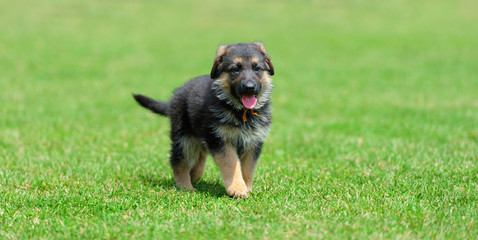 Baby German Shepherd
