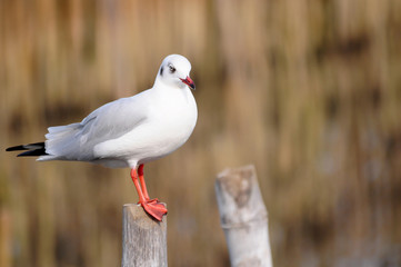 seagull thaibang