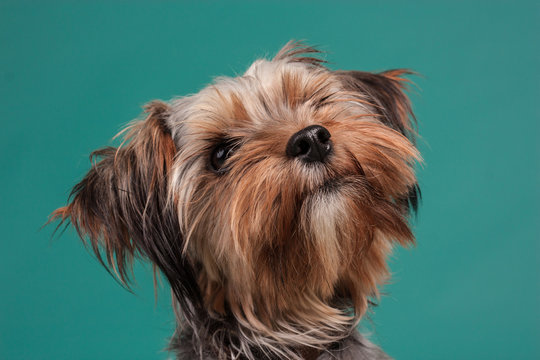 yorkie dog portrait on color background in a photo studio