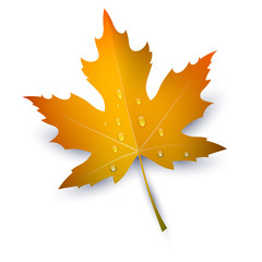 Maple Leaf with raindrops on a white background. Autumn red mapl