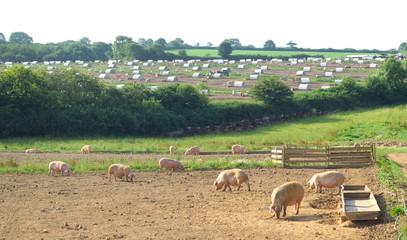 Pig farm in Devon, England