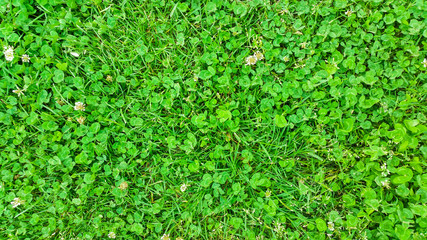 Fresh Clover Leaves Background