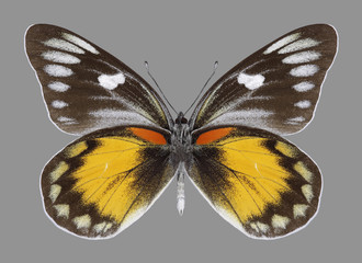 Butterfly Delias zebuda (male) (underside) on a gray background
