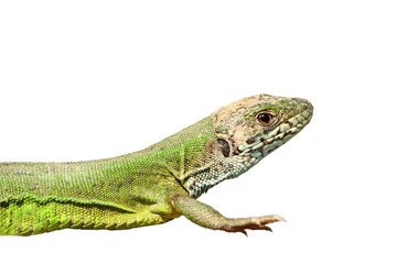 closeup of green lizard isolated over white