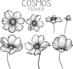 cosmos flowers flowers drawings