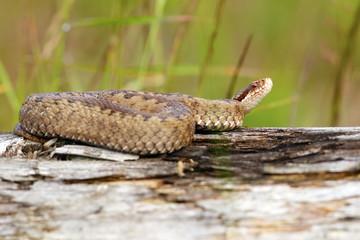 female european viper