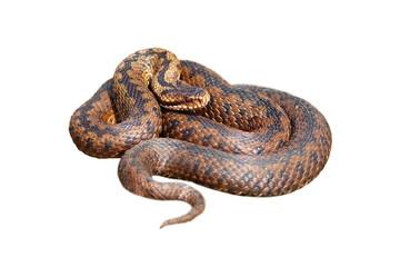 isolated female european viper