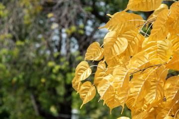 gold leaf of tree