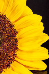 blooming sunflower on black  background, close up