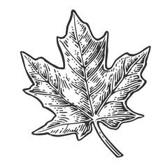 Maple leaf. Vector vintage engraved illustration.