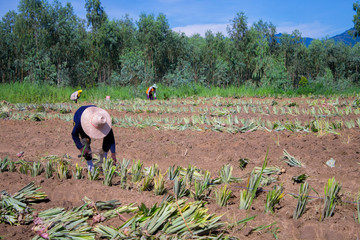 Farm workers in a pineapple field