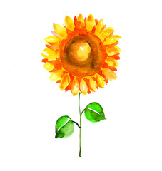 watercolor illustration  of single isolated sunflower. summer su