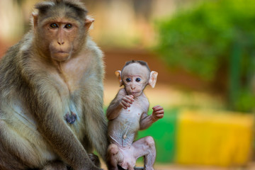 Baby Macaque India with its mother close at hand. Part of the big banyan tree troop near Bangalore.