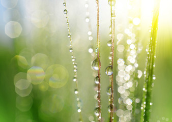 Dew drops on barley ear close up. Soft focus. Nature background