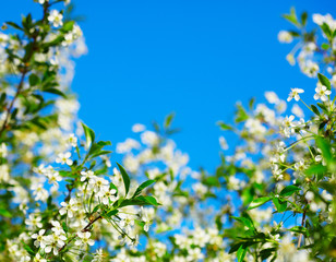 Frame of cherry blossoms against the blue sky