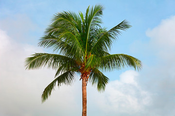 Top of a coconut tree on sky background