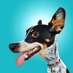Panting happy fun exaggerated Australian Cattle dog or mix breed canine portrait caricature with big eyes ears and nose