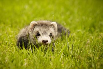 Pretty ferret baby in garden