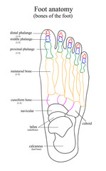 Anatomical drawing of the foot