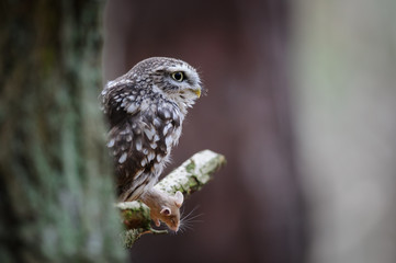 Fototapete - Little owl with hunted mouse