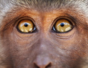 Monkey yellow eyes close up - Macaca fascicularis