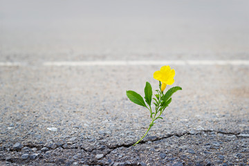 yellow flower in crack street, soft focus