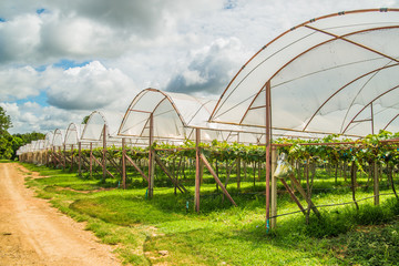 Grape farm in the countryside of Thailand.