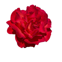 scarlet red rose