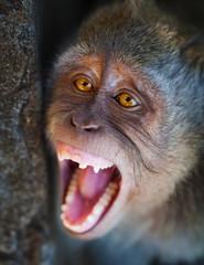Portrait of aggressive monkey close up