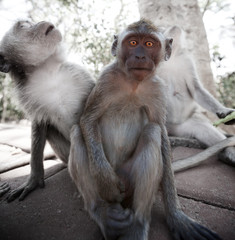 Frightened young monkey - crab-eating macaque