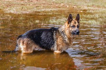 Perro Pastor Alemán en el agua.